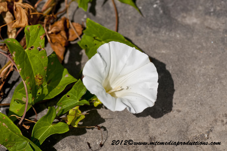 White Morning Glory Picture-04