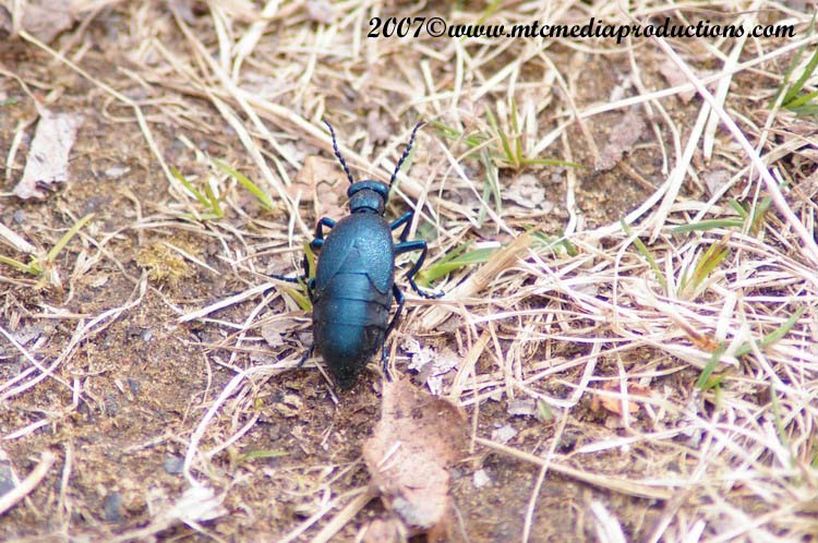 Blister Beetle Picture-00
