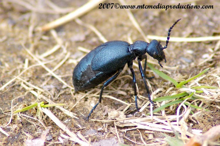 Blister Beetle Picture-02