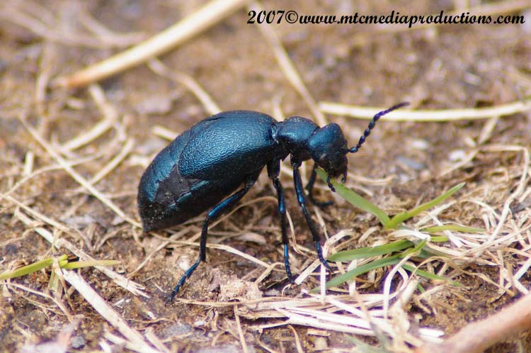 Blister Beetle Picture-03