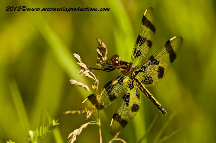 Brown-Spotted Yellow-Wing-01
