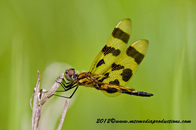 Brown-Spotted Yellow-Wing-04