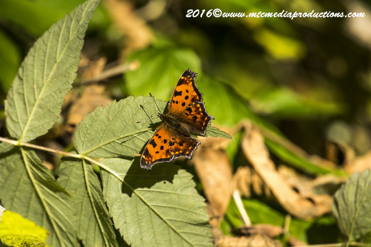 Comma Butterfly Picture-00