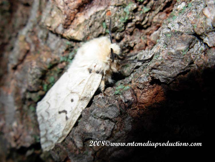 Gypsy Moth Picture-02