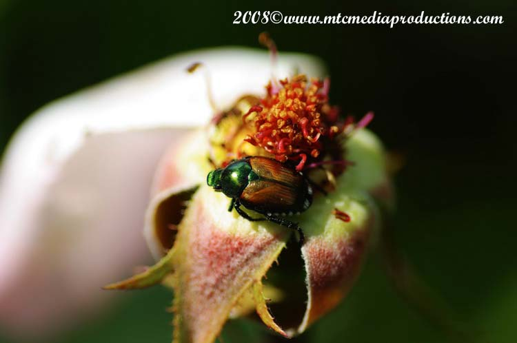 Japanese Beetle Picture-00