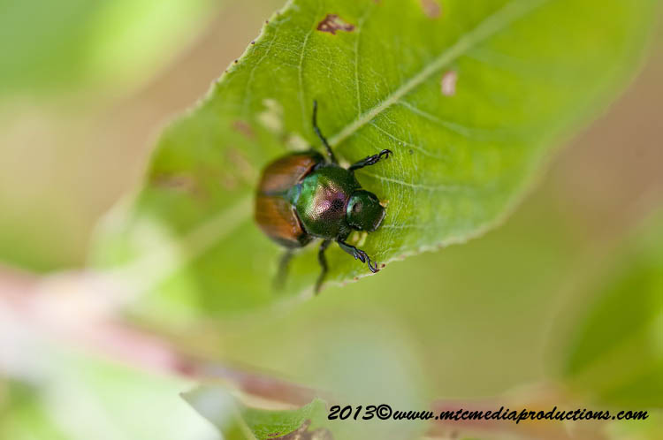 Japanese Beetle Picture-03