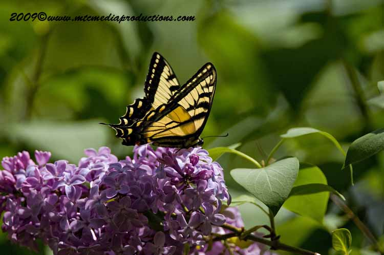 Tiger Swallowtail Picture-00