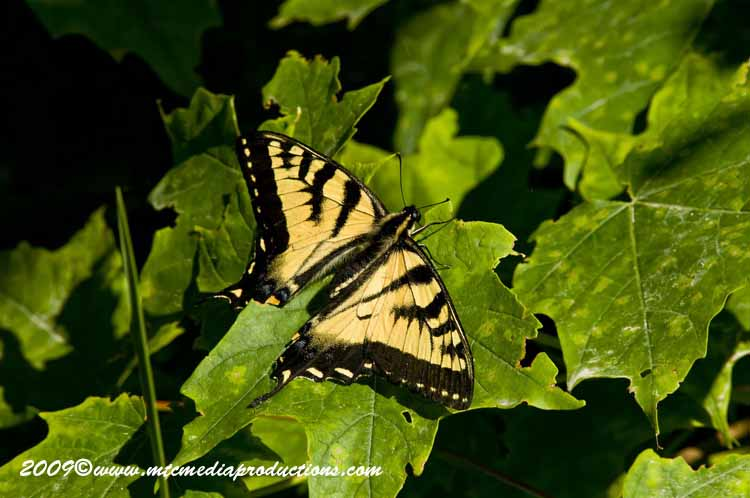 Tiger Swallowtail Picture-01