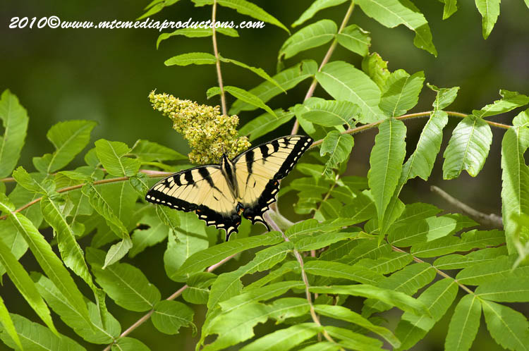 Tiger Swallowtail Picture-02