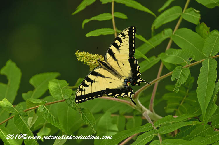 Tiger Swallowtail Picture-03