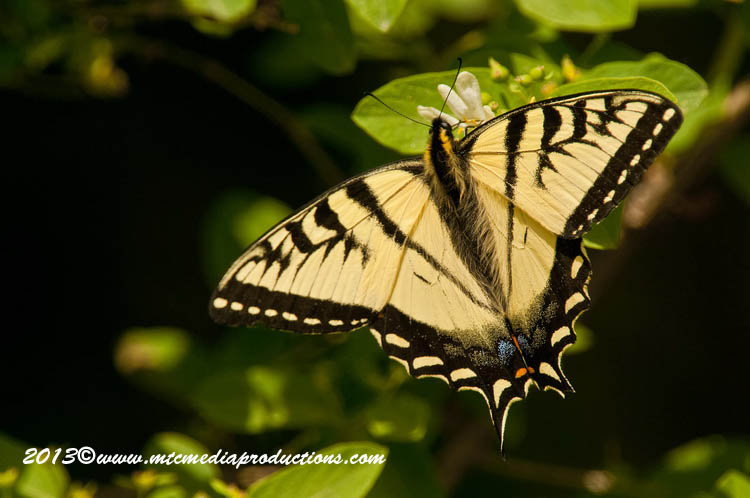 Tiger Swallowtail Picture-04