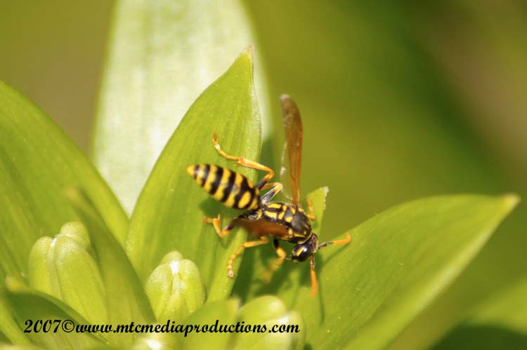 Yellow Jacket Wasp Picture-00