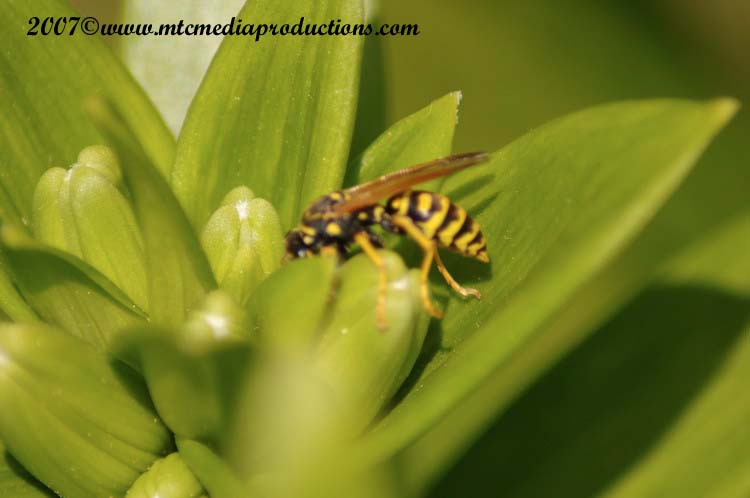 Yellow Jacket Wasp Picture-01