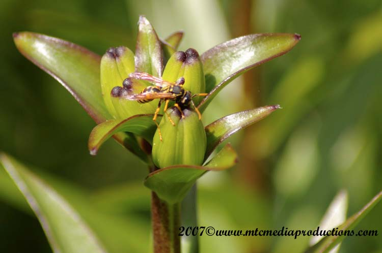 Yellow Jacket Wasp Picture-02