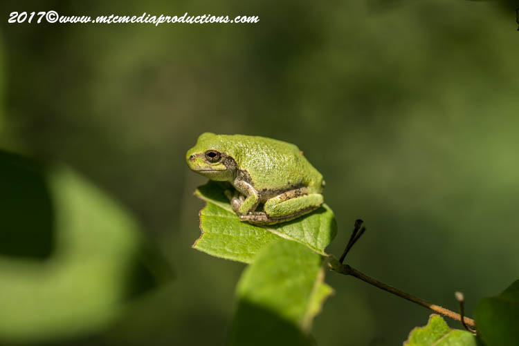 Gray Tree Frog Picture