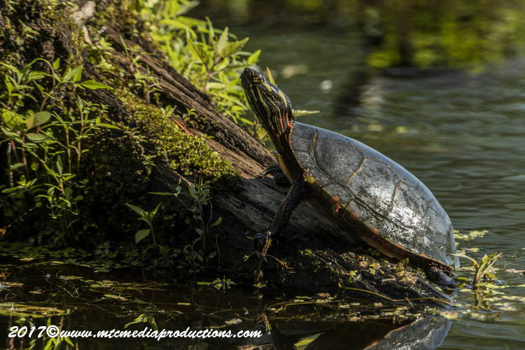 Painted Turtle Picture